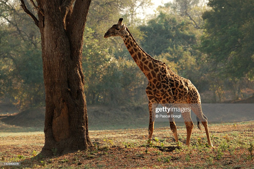 Giraffe in morning : Foto de stock