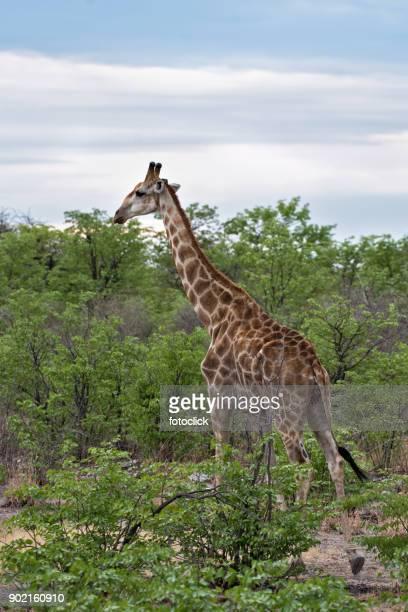 Giraffe in der Sandwüste in Namibia