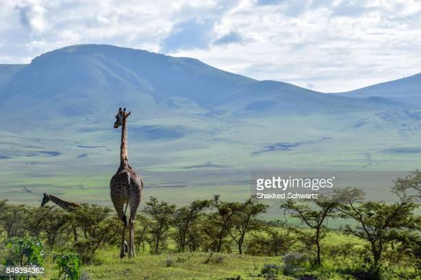 A Giraffe in Ngorongoro