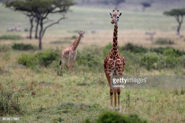 Giraffe in savanna Masai Mara game reserve Kenya