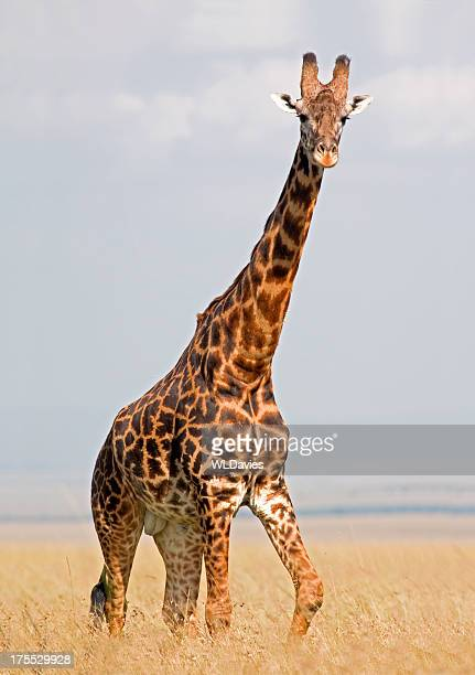 giraffe in savannah - safari animals stock pictures, royalty-free photos & images