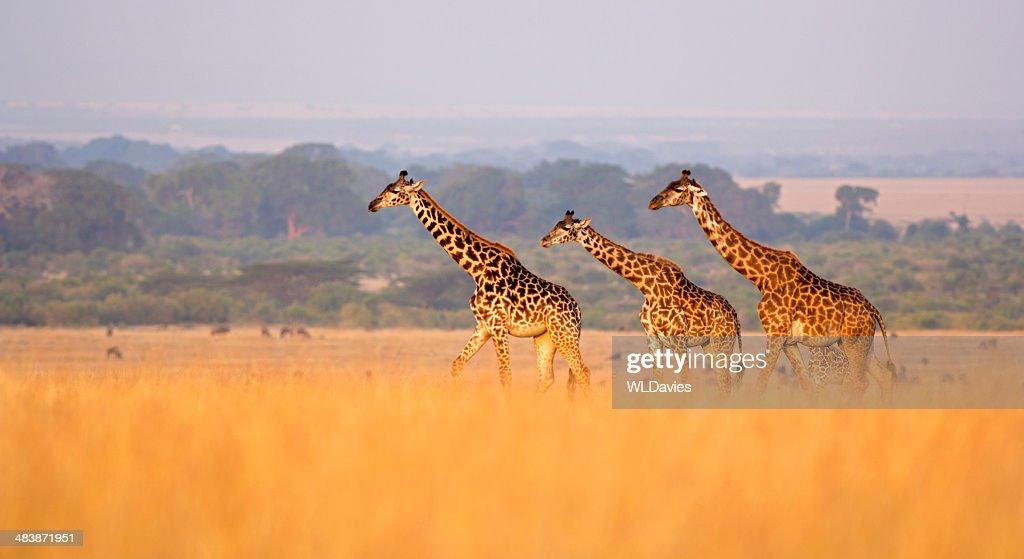 Girafa na Savana : Foto de stock