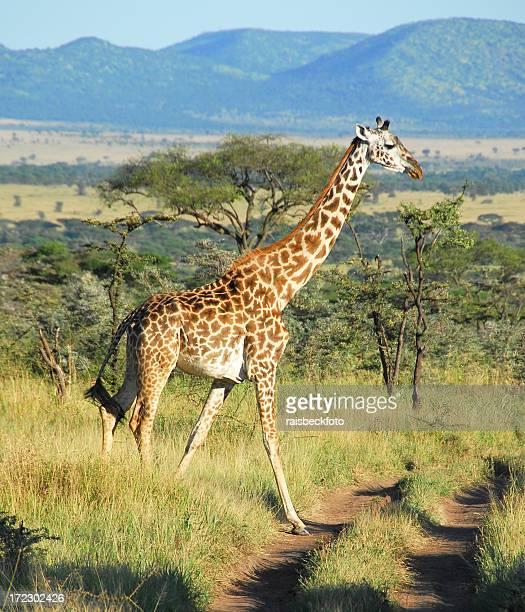 Giraffa nel Parco Nazionale del Serengeti, Tanzania