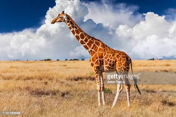 キリン ストックフォトと画像 Getty Images