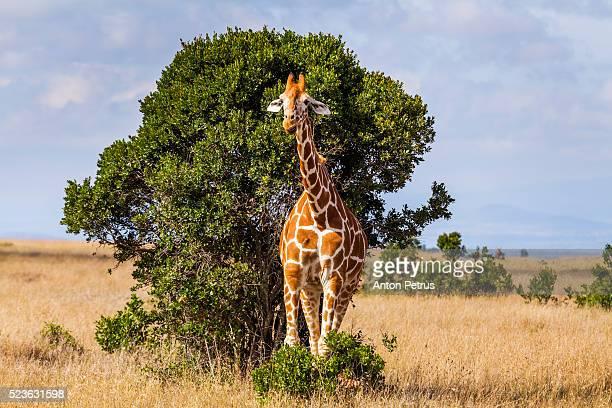 Giraffe in the bush, Kenya