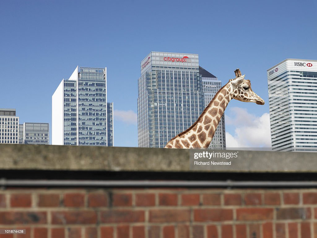 Giraffe in the City : Stock Photo