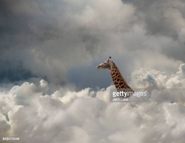 giraffe in the cloud - white giraffe stockfoto's en -beelden