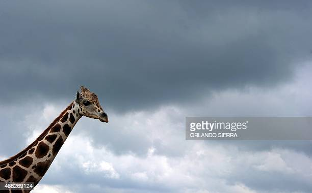 A giraffe in the Joya Grande zoo Santa Cruz de Yohoa municipality Cortes department 2000 km north of Tegucigalpa on March 28 2015 A 20hectares green...
