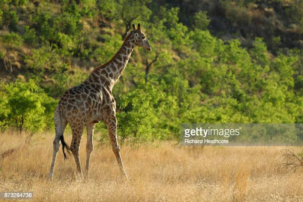 Giraffe in the Pilanesberg National Park before the third round of the Nedbank Golf Challenge at Gary Player CC on November 11 2017 in Sun City South...