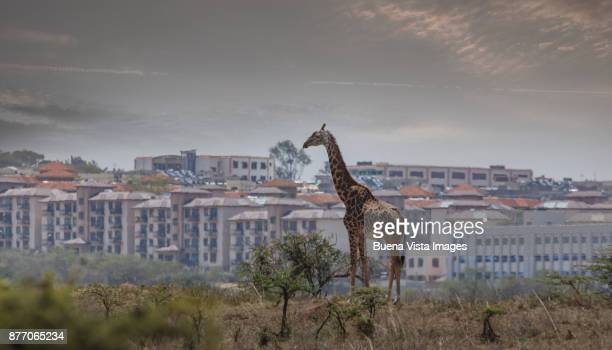 giraffe in the savannah against modern city buildings - white giraffe stockfoto's en -beelden