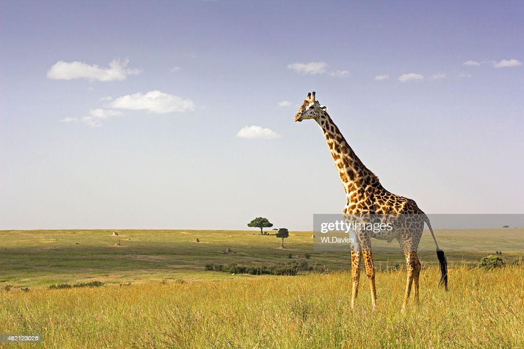 Giraffe in the savannah : Stock Photo