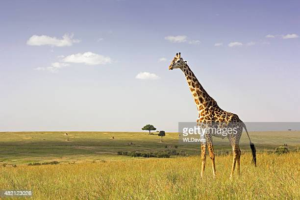 Giraffen in der Savanne