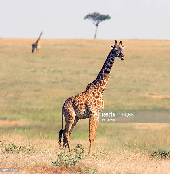 giraffe in the savannah - giraffe stock pictures, royalty-free photos & images
