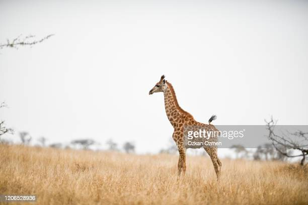 giraffe in the wilderness of africa - long neck animals stock pictures, royalty-free photos & images