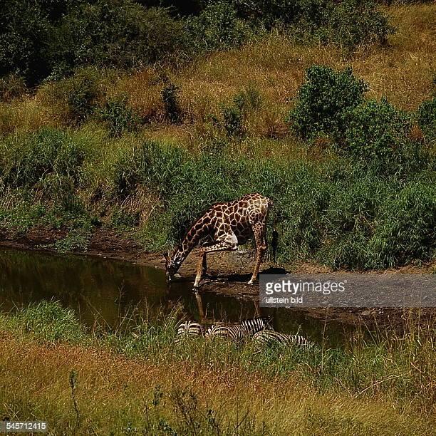Giraffe in `Trinkstellung' an einerWasserstelle - Krüger National Park,Republik Südafrika- 1993