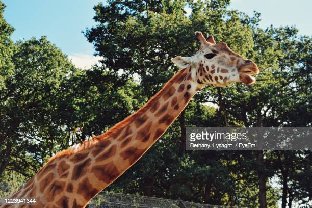 giraffe in wild - safari stock pictures, royalty-free photos & images