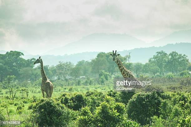 Girafe dans la nature sauvage