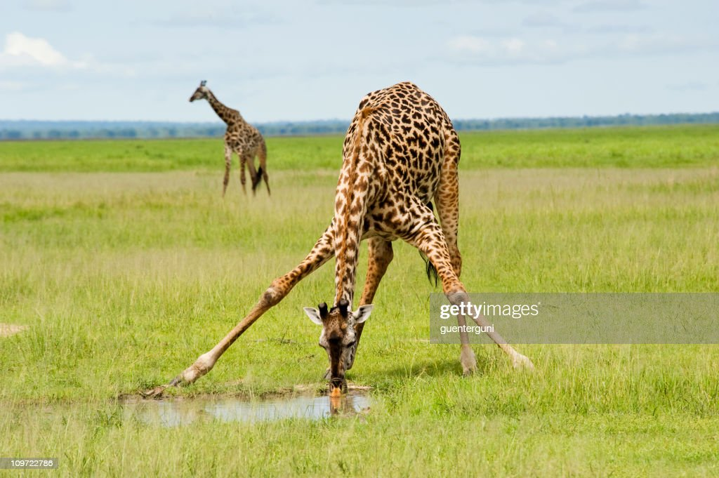 A giraffe is drinking water and one is standing by : Stock Photo