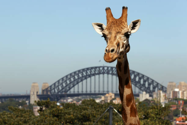 AUS: Sydney's Taronga Zoo Reopens To Fully Vaccinated Patrons Following Easing Of NSW COVID-19 Restrictions