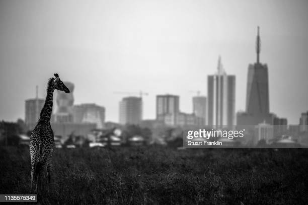 A giraffe is seen by the city skyline prior to the start of the Magical Kenya Open presented by Absa at the Karen Golf Club on March 13 2019 in...