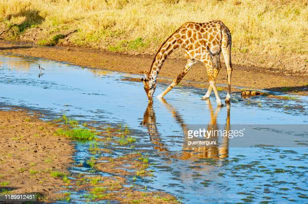 giraffe is spreading the legs to drink water - safari animals stock photos and pictures