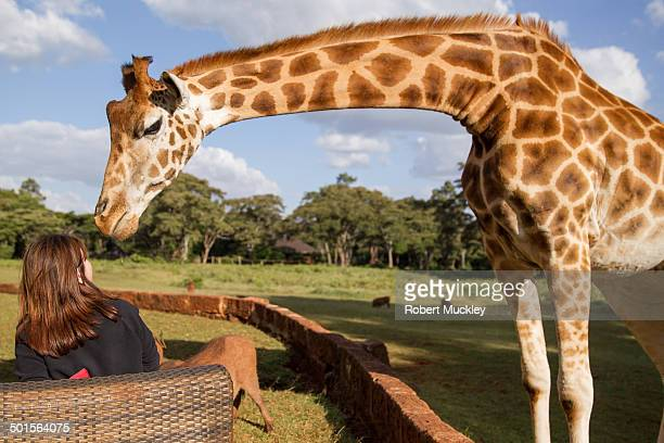 giraffe kiss - white giraffe stock pictures, royalty-free photos & images