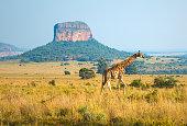 Giraffe Landscape in South Africa