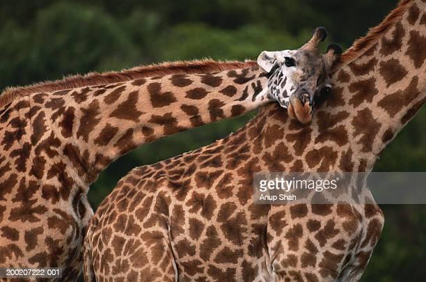 Giraffe (Giraffe camelopardalis tippleskirchi) leaning, Masai Mara N.R, Kenya