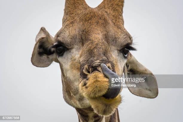 giraffe licking - 動物の舌 ストックフォトと画像