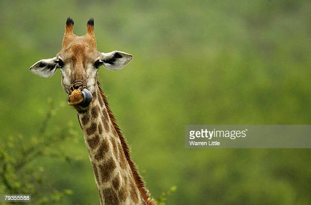 A giraffe licks it's nose pictured in the Kruger National Park on December 7 2007 in Mpumalanga South Africa
