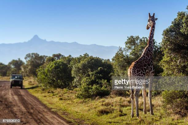 Giraffe looking at tourists in the African Savannah, Kenya