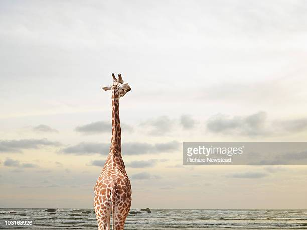 giraffe looking out to sea - giraffe stock pictures, royalty-free photos & images