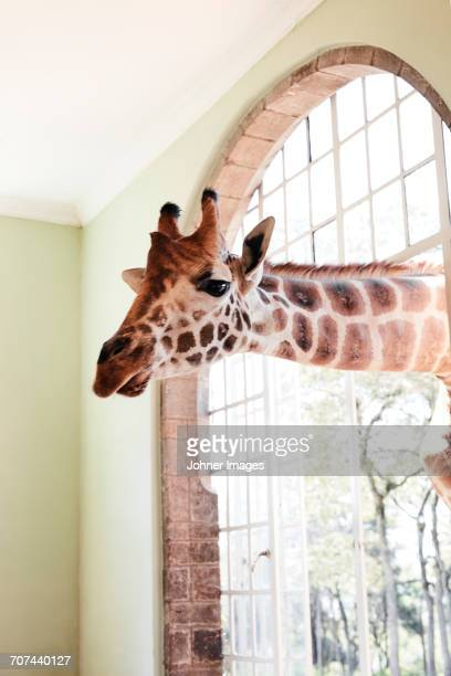 giraffe looking through window - giraffe stock pictures, royalty-free photos & images