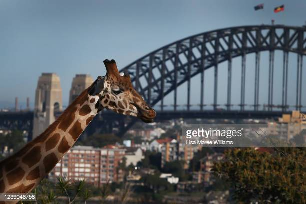 Giraffe looks out across Sydney Harbour from Taronga Zoo on June 01, 2020 in Sydney, Australia. Taronga Zoo has reopened to the public as COVID-19...