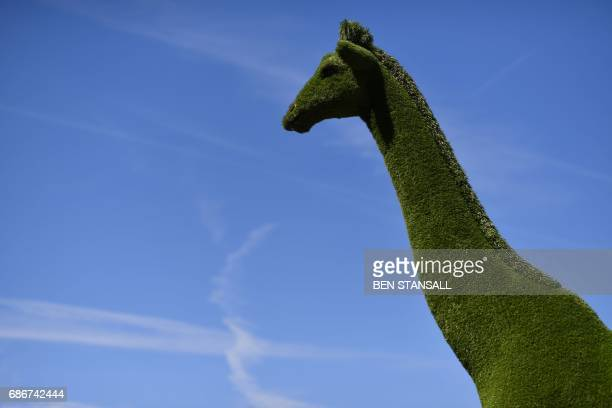 A giraffe made from astro turf is seen at the 2017 Chelsea Flower Show in London on May 22 2017 The Chelsea flower show held annually in the grounds...
