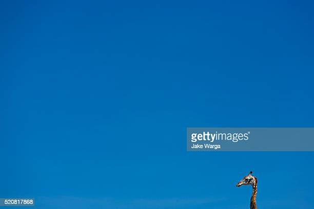 giraffe, masai mara, kenya - jake warga stock pictures, royalty-free photos & images