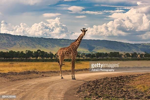 giraffe, masai mara - girafe photos et images de collection