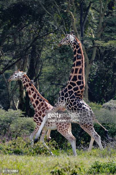 Giraffe Mating While Standing On Field In Forest