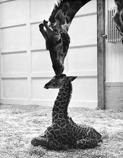 A Mother Giraffe With Her Newborn At The Dudley Zoo In England, 1967