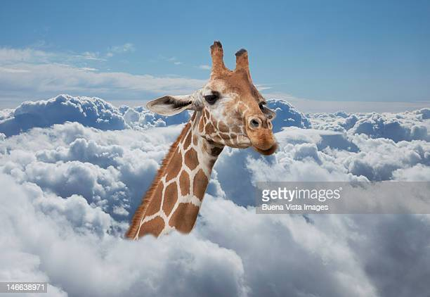 Giraffe neck coming out from clouds