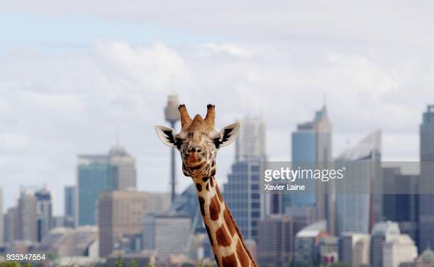 Giraffe of Taronga Zoo smiles in front of City at Sydney Harbour on March 11, 2018 in Sydney, Australia. Sydney Harbour, which is often described as...