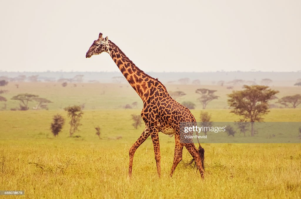 giraffe on a misty morning in The Serengeti : Stock Photo