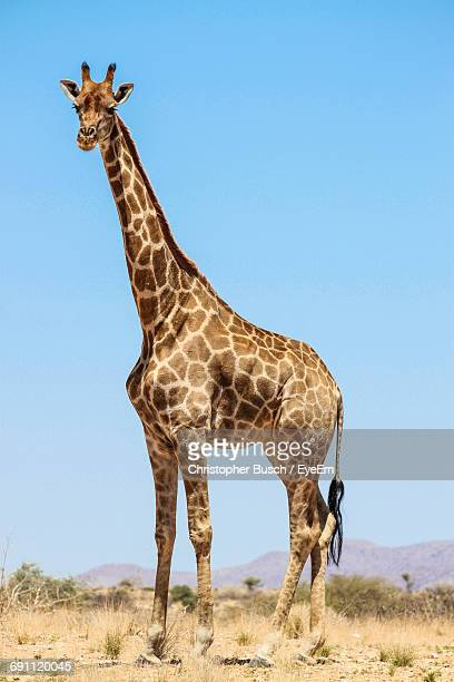 Giraffe On Landscape Against Clear Blue Sky