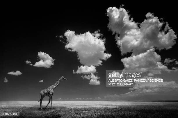 Giraffe on plain