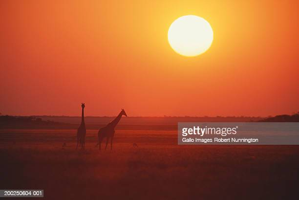 Giraffe (Giraffa camelopardalis) on plain, silhouetted against sunset