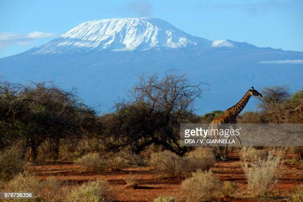 Giraffe on the savannah with a snowy Mount Kilimanjaro in the background, Amboseli national park, Kenya.