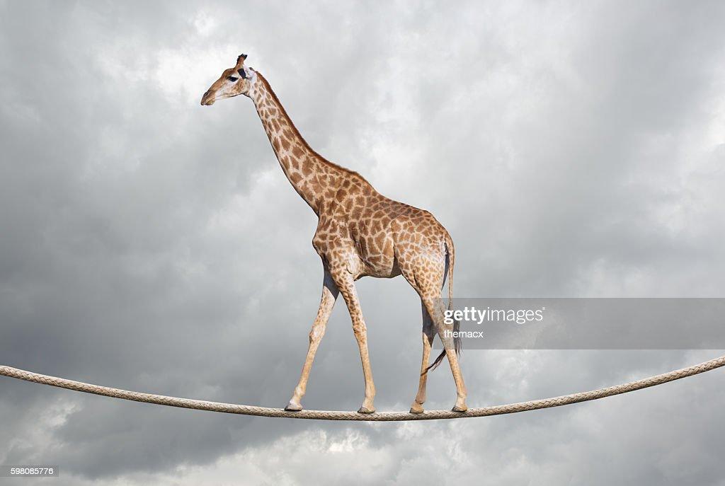 Giraffe on tightrope : Stock Photo