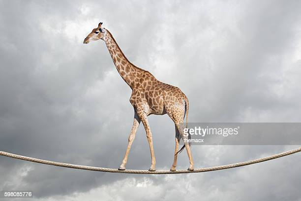 Giraffe on tightrope