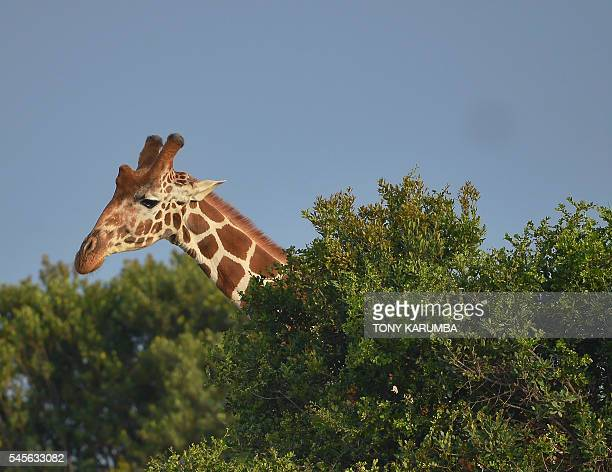 A giraffe peers above a scrub at the OlPejeta conservancy in Laikipia county approximately 200 kilometres north of the Kenyan capital Nairobi on July...