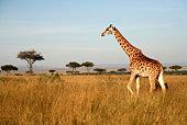 Giraffe (Kenya)